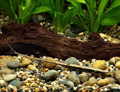 ファロウェラ・アクス | 熱帯魚...