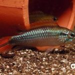 Apistogramma_Agassizii_Double-Red