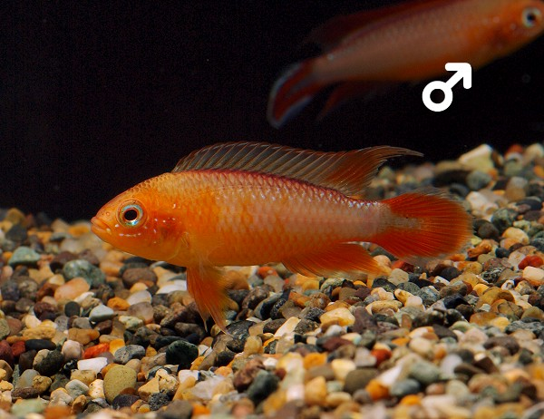 Apistogramma_Agassizii_Fire-Red
