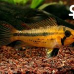 Apistogramma_cacatuoides_Double-Red
